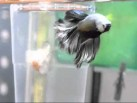 petushok_betta_splendens